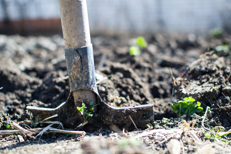 A shovel in the ground digging out weeds.