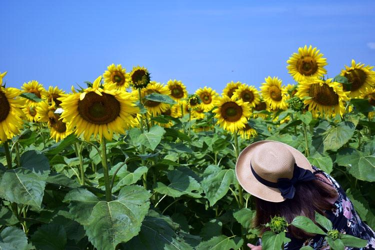 Sunflower field at Port Farms's Flower Festival.